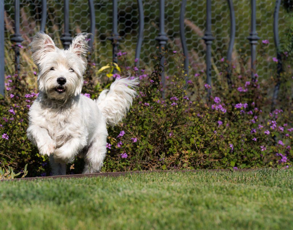 Westie Dog in Fenced yard