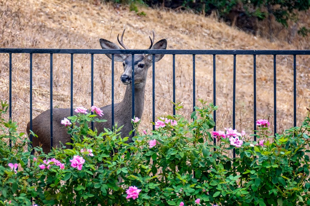 Deer Behind Fence