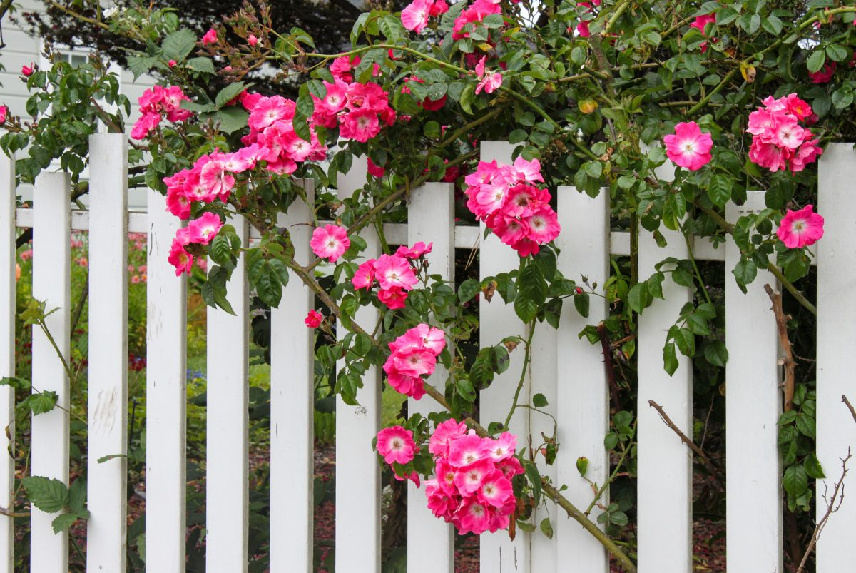 Do's and Don'ts of Fence Vines