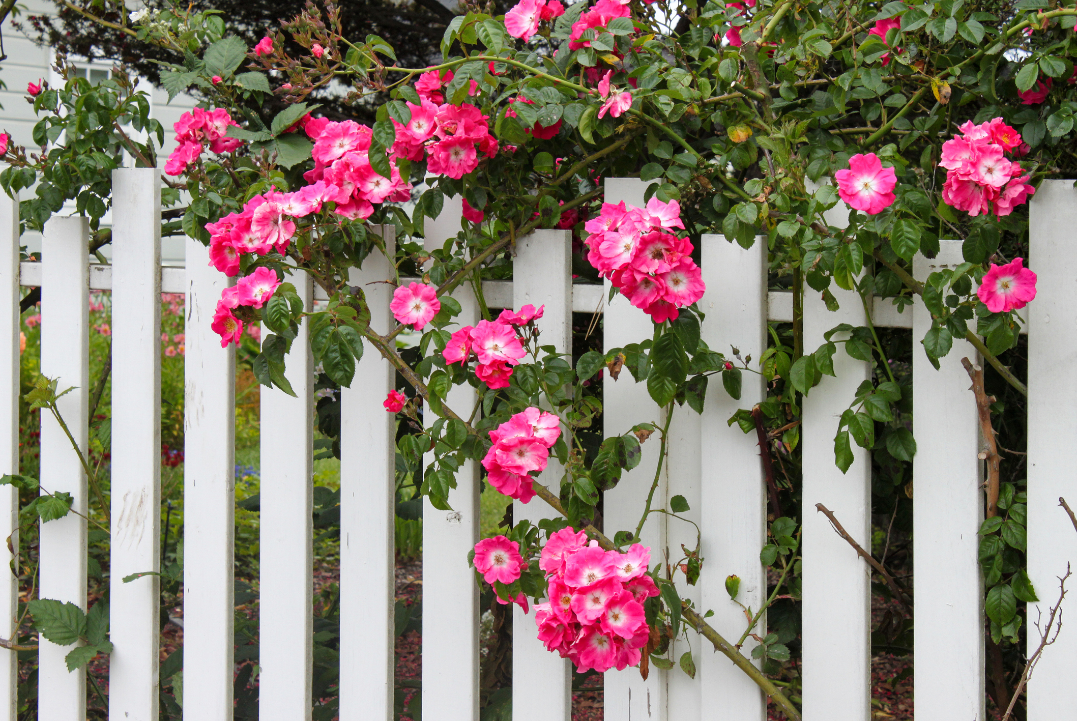 Fences with Vines
